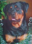 Rottweiler Blank Greetings Cards (10 Pack)